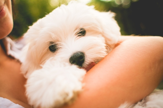 Hugging Maltese Dog Puppy
